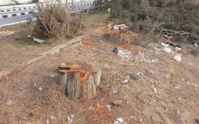 مذبحة لاشجار الجازورين بجمصة على مرأى ومسمع المسئولين